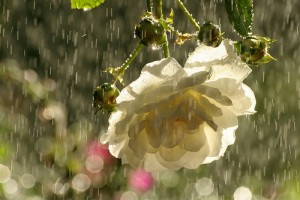 Image of White Roses in the Rain
