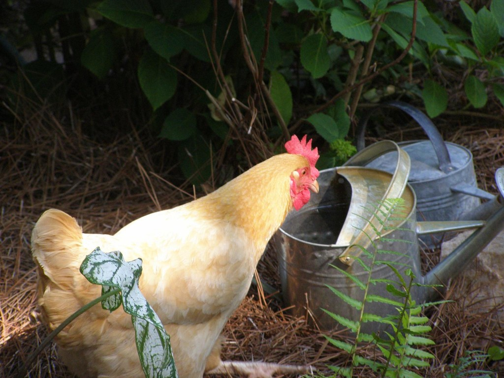 Gardening With Chickens / Nicole Rushin Photography